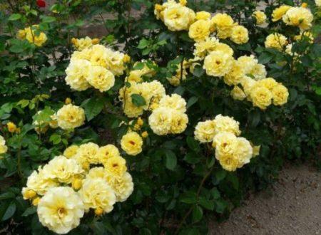 Полиантовая роза что это такое13
