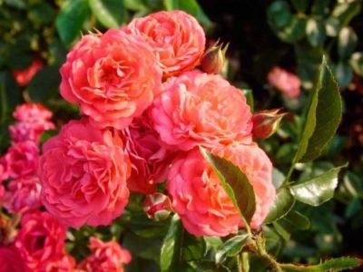 Полиантовая роза что это такое2
