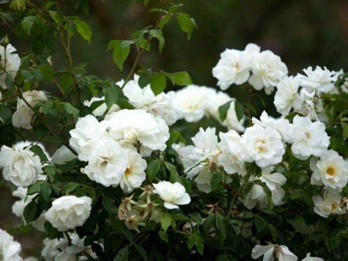 Полиантовая роза что это такое4
