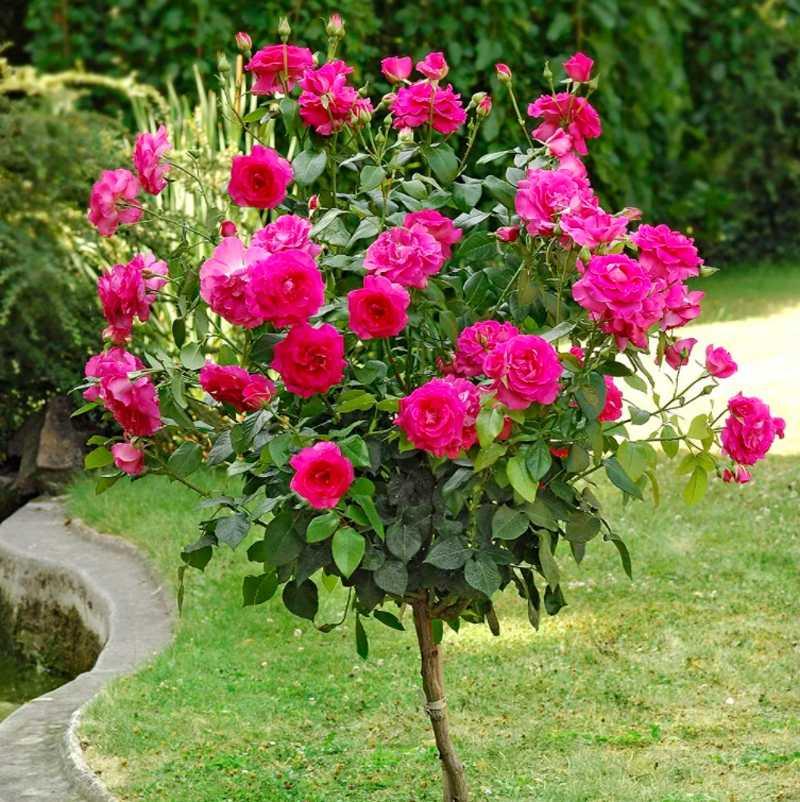 Полиантовая роза что это такое