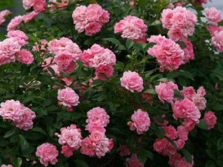 Полиантовая роза что это такое8