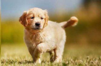 самые умные собаки в мире топ 10-0