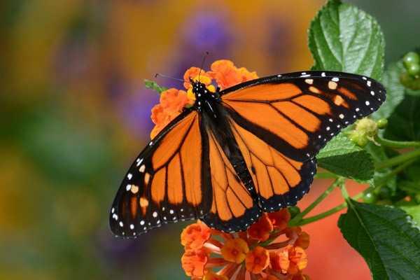 Какие бывают бабочки8