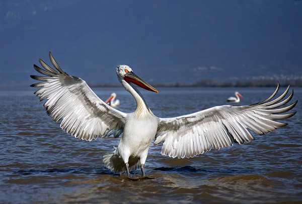 Самая крупная летающая птица2