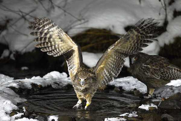 Самая крупная летающая птица4