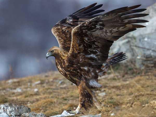 Самая крупная летающая птица7