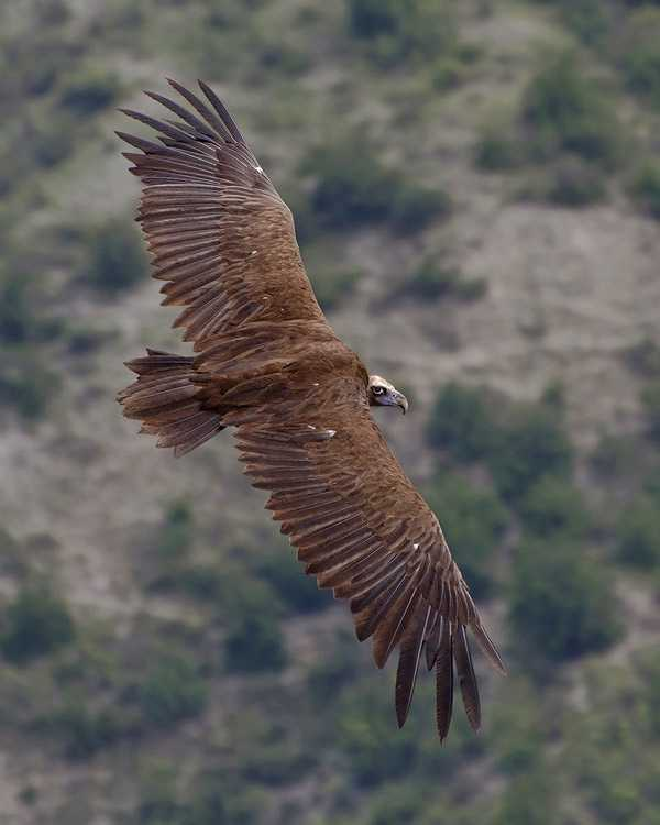 Самая крупная летающая птица8