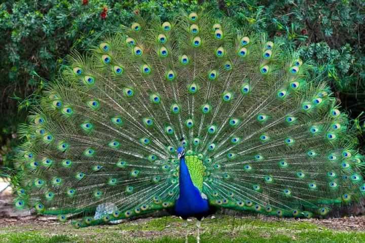 Самая красивая птица в мире11-3