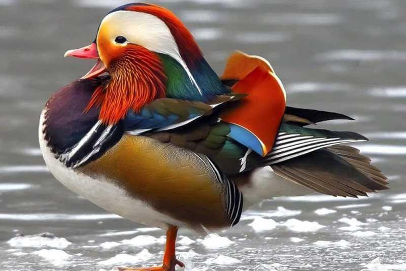 Самая красивая птица в мире6