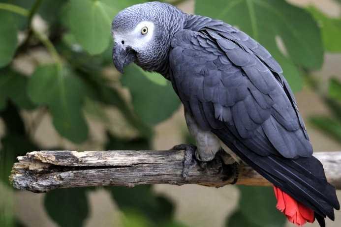 Самый умный попугай для дома 5
