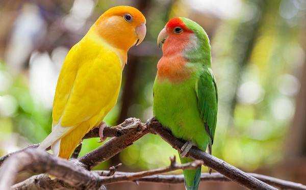 Самый умный попугай для дома 2