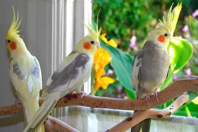 Самый умный попугай для дома 3